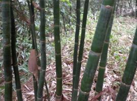 中国尤溪绿竹之乡,绿竹一身是宝,绿竹苗栽培技术