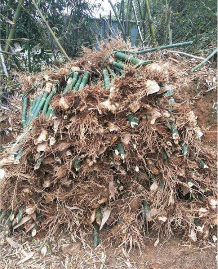 绿竹苗批发价格