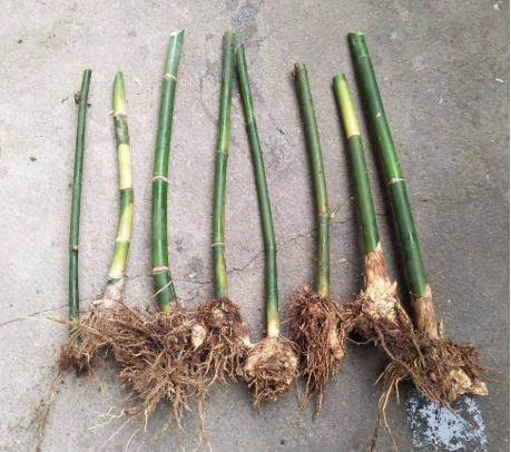 马蹄笋绿笋苗栽培技术